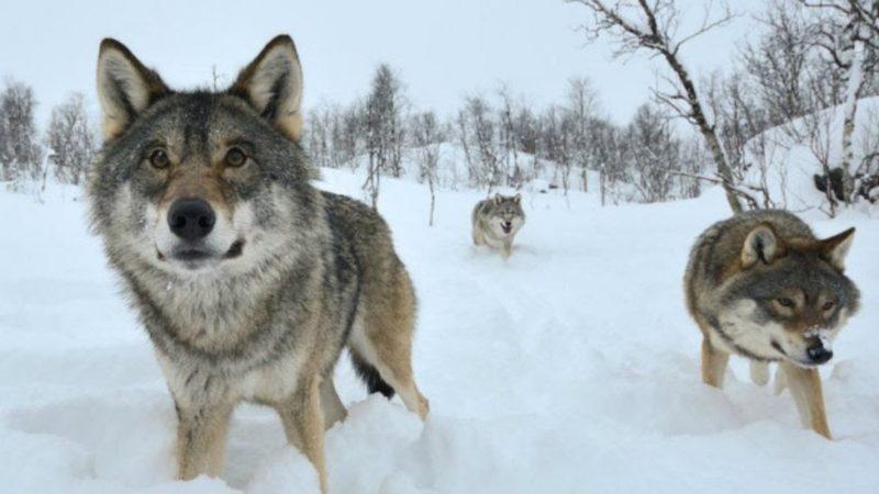 Câu chuyện về bầy sói là bài học lãnh đạo ý nghĩa